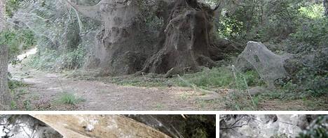 World's largest spider web!